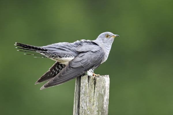 cuckoo02